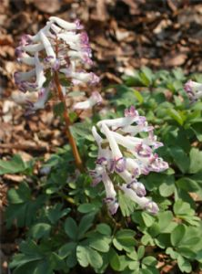 Corydalis solida First Kiss